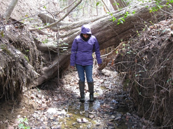 Channel widening and subsequent tree loss from streambank erosion