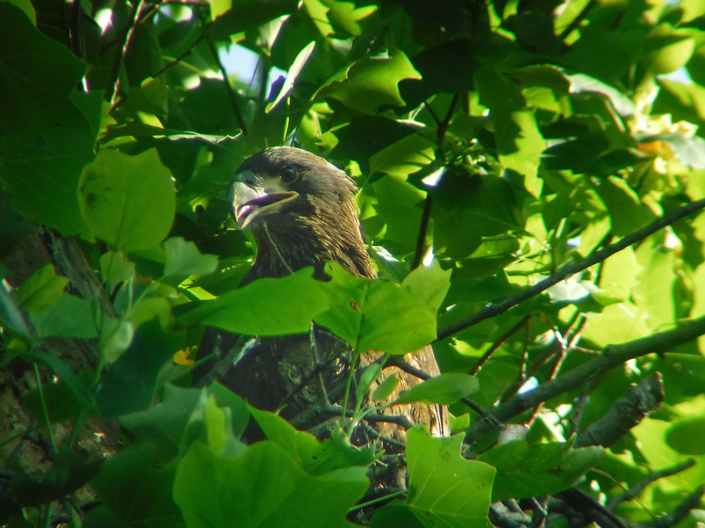 WSSI scientists spotted this juvenile bald eagle during nest monitoring in 2018