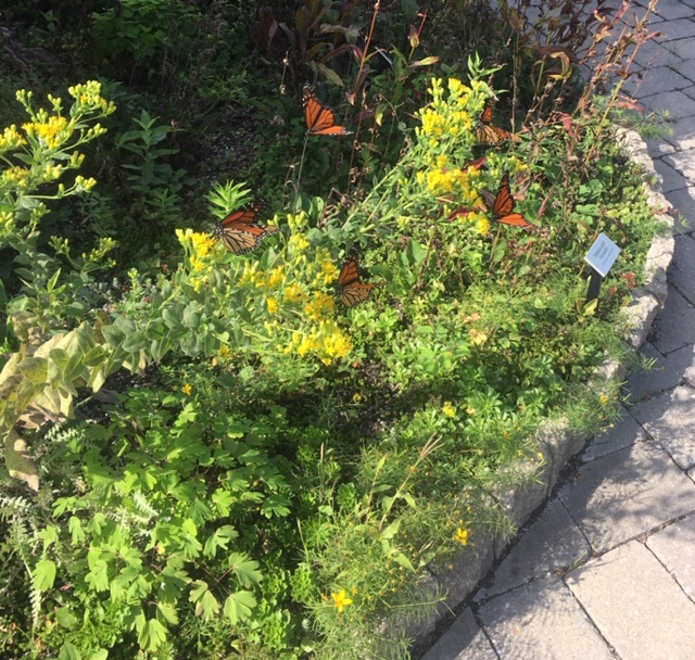 monarch butterflies on the Green Roof, Summer 2018