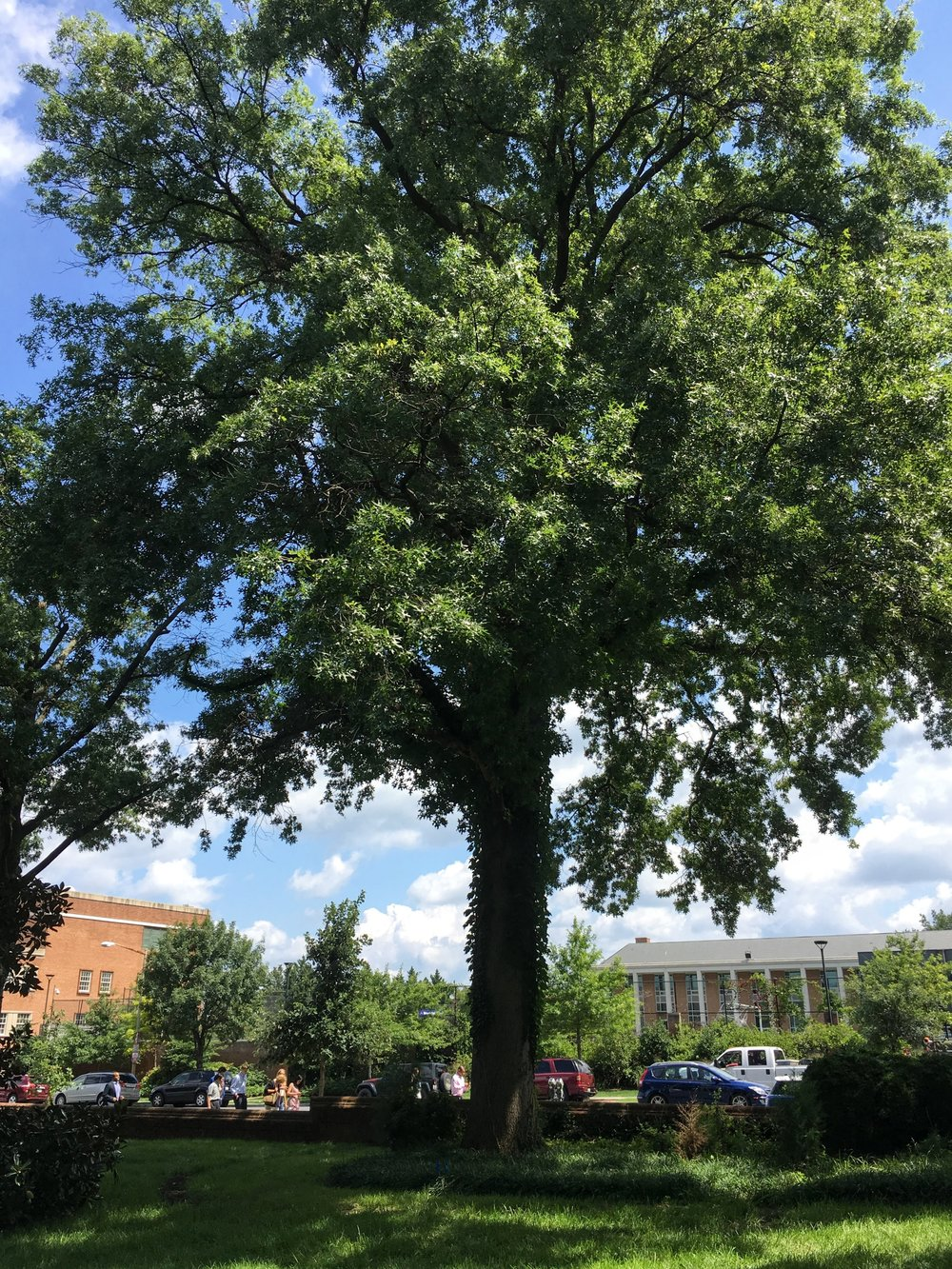 This pin oak (Quercus palustris) in Washington, D.C. is a Heritage Tree protected by the District's Tree Canopy Protection regulations.