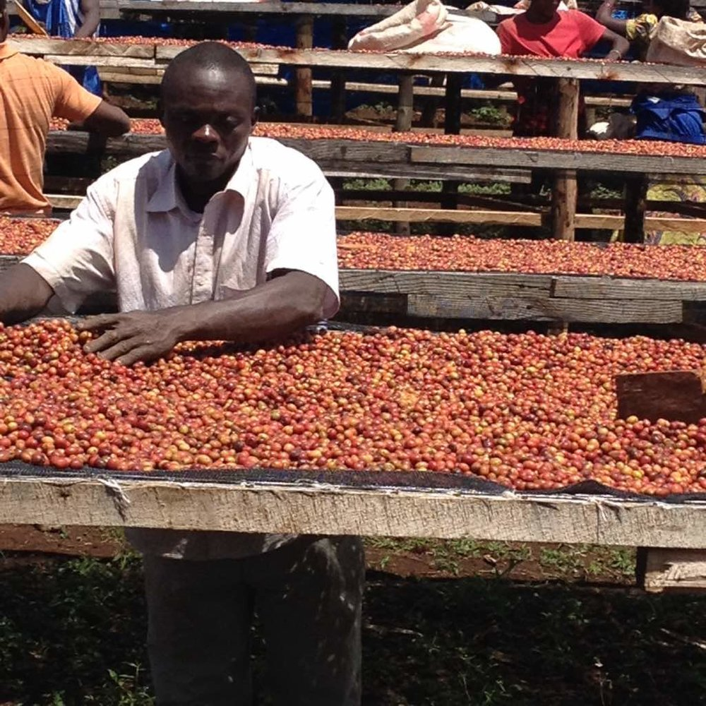 Working the coffee harvest in Eastern Congo.
