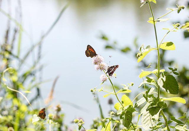 Ça papillonne à la Gravière 🌸 . À la découverte de la faune et de la flore dans la Loire avec la meilleure guide privée @marcoux_j 🦋 __ _ Sharing some nectar 💕 . . . . . . #roannecity #roannetourisme #lagraviere #parcnaturel #naturephotography #papillon #loiretourisme #42 #fauneetflore #butterfly #graviereauxoiseaux #papillonofinstagram #igersloire #auvergnerhonealpes #regionauvergnerhonealpes #nectar #papillonne #pollen #livemoremagic