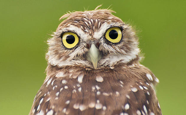 Burrowing-Owl.jpg