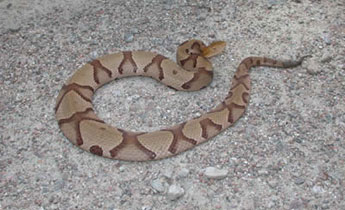 Copperhead, VENOMOUS