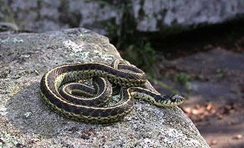 Garter Snake, non-venomous