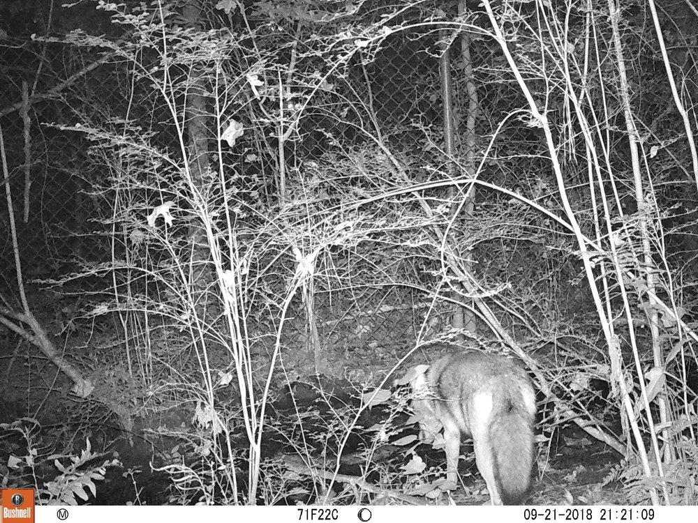 drinking coyote.JPG