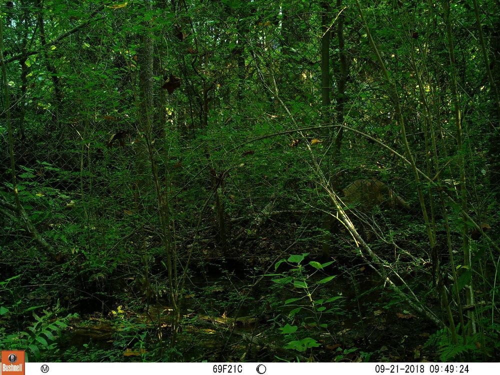 hidden coyote.JPG