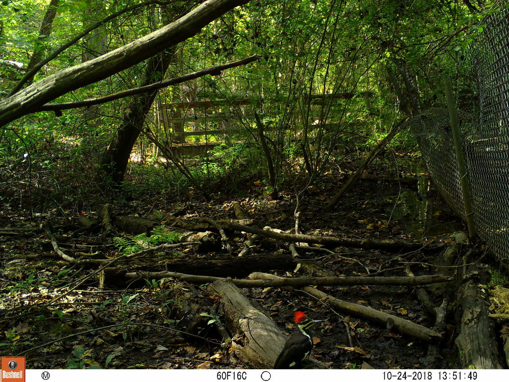 Pileated Woodpecker 2.JPG