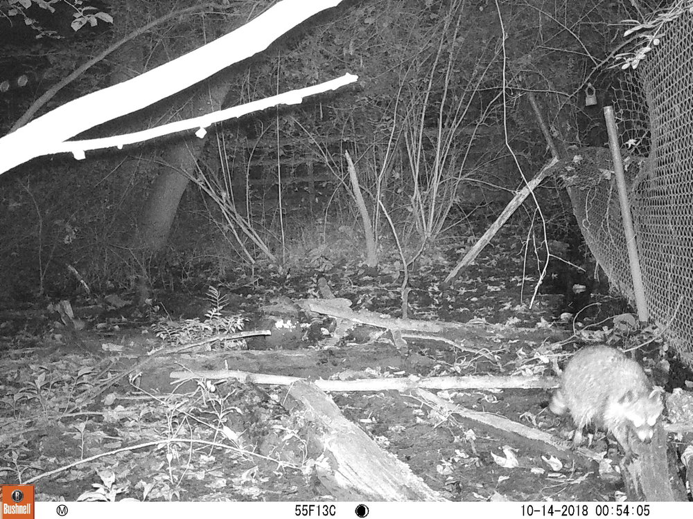 Raccoon 2.JPG
