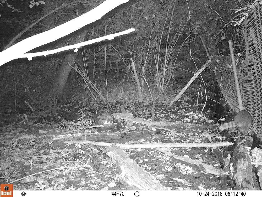 Raccoon Butt.JPG