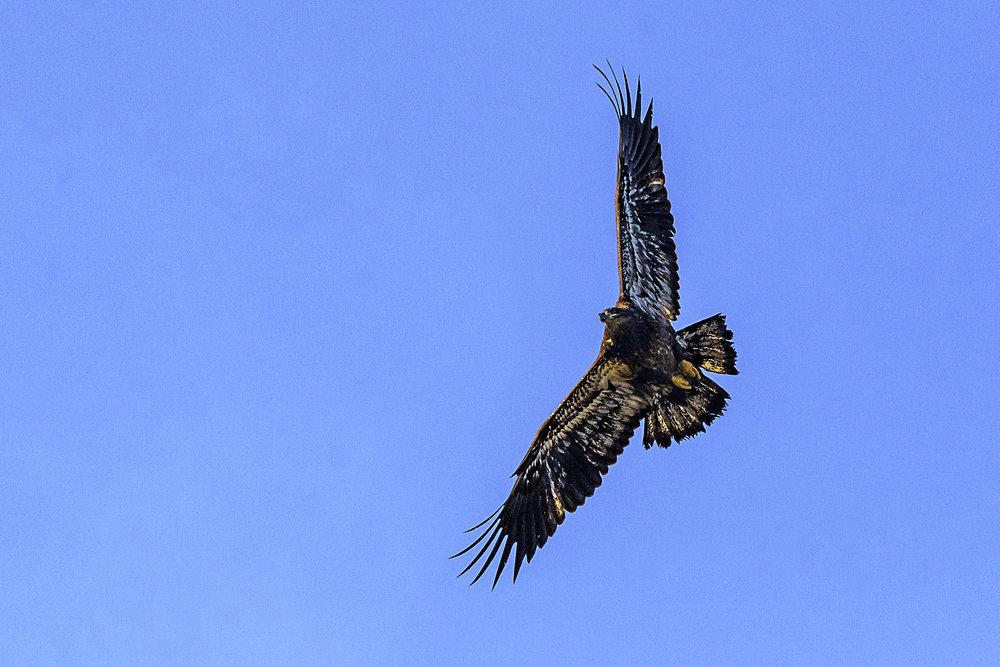 eagleweb.jpg