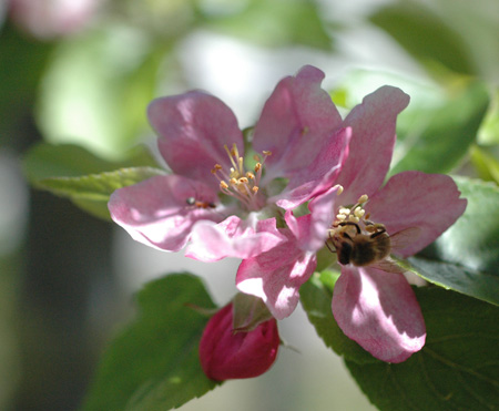 bee on red fleshed apple flower.  The red pigment can infuse the flowers, leaves, bark and wood as well as the fruit. It was an excellent spring for setting fruit.