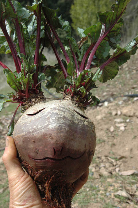 Mr. Beethead.  Just a surplus beet from the garden that ended up amusing a lot of people at the local hot springs where it resided in a bowl of water for a few weeks.