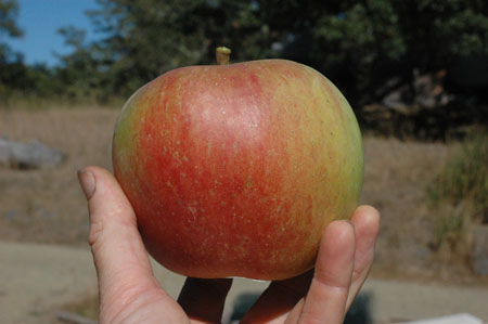 This apple, labeled Vin de St Maurice, is huge.  More huger than it actually looks in this picture.  It wasn't super exciting to eat, but maybe it will improve.