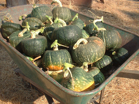 Burgess' Butercup Winter Squash.