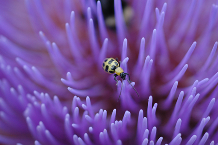 Diabrotica, or Cucumber Beetle, on Artichoke flower.