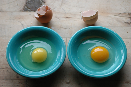 "large store egg v.s. small turkeysong egg.  I'm always shocked when I see how sallow and pathetic store eggs are.  Organic and ""free range"" account for very little in store eggs.  The yolks are undersized, pale and contain more inflammatory fatty acids DHA, Arachidonic acid and omega 6 fats from a steady diet of grain.  They probably aren't capable of supporting life, a chick's or ours.  I was running low on eggs, so I bought a dozen, but I ended up just eating the whites and tossing the yolks.  I set up a light on a timer to trick the hens into starting to lay again and got three eggs today and yesterday...whew!"