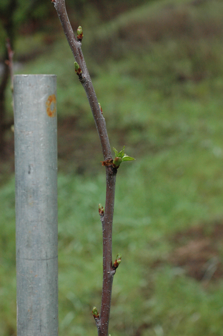 This picture shows the more rapid progress of a bud which has been notched.  note that it is further along than the other buds.  Supposedly that is because the notch disrupts signals from the top of the tree which otherwise would inhibit it's growth, but also possibly because it directs nutrients into the bud instead of letting them pass up the tree.  Whatever the physiological mechanism, it works.  After taking this, I removed the buds I didn't want as scaffold branches.  This is a sour cherry.  Sweet cherry has not responded at all well to notching and dis-budding.