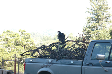 Vulture hangin' around the compost pile on a convenient roost.