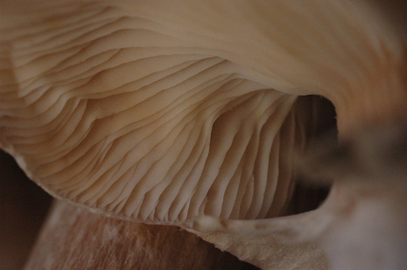 Honey mushroom detail.