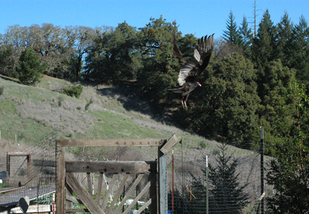 Another vulture taking flight.  He was sunning himself on the garden gate.  They scrounge through the food waste after the chickens are done.