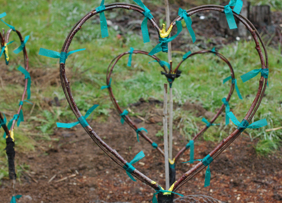 Green wood bends easily as demonstrated in these heart shaped apple tree grafts.