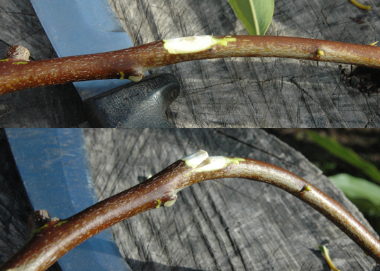 Violations of grain, as here when I a knot is cut through, are risky.  The stick has been reduced to an even thickness which could help it bend more evenly, but it becomes much more likely to break when bent.