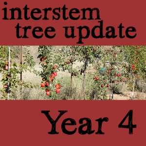 Update on interstem apple trees, year 4