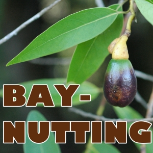 Baynutting, Collecting, Drying, Roasting, Eating California Bay Laurel Nuts