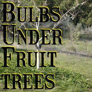 An experiment in using flower bulbs to form fruit tree under-stories