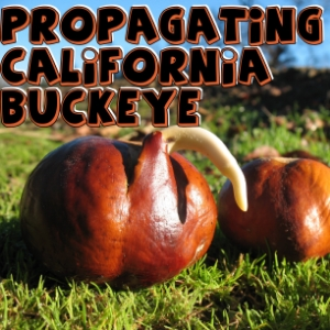 Propagating California Buckeye trees