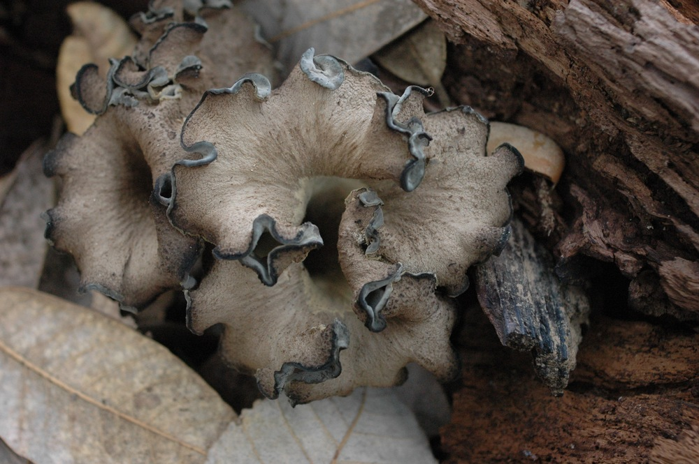 Not-so-black black trumpet mushrooms.  A staple of turkeysong cuisine.  Video on  how to clean and dry quickly here .