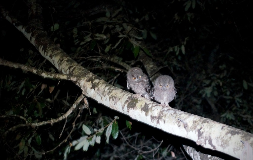 Adorable little owls.  These tend to be very tame.  I'm recording video footage of them only about 12 feet away by headlamp.  The footage was lost :/