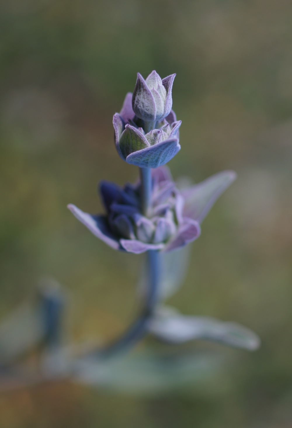 Black sage again.  I love taking pictures of this plant.