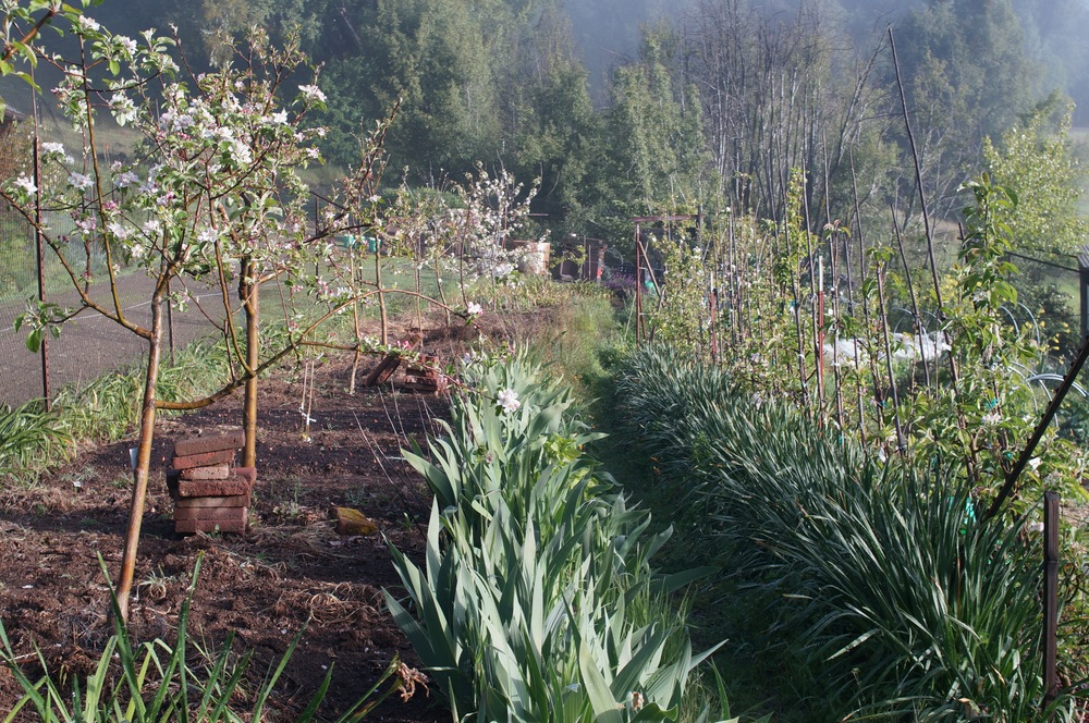 inter-stem dwarf and diagonal cordon apple trees in a nice fog filtered light
