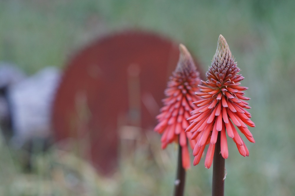 kniphophia, or is it kniphofia?  whatever.  Hummingbirds like it.
