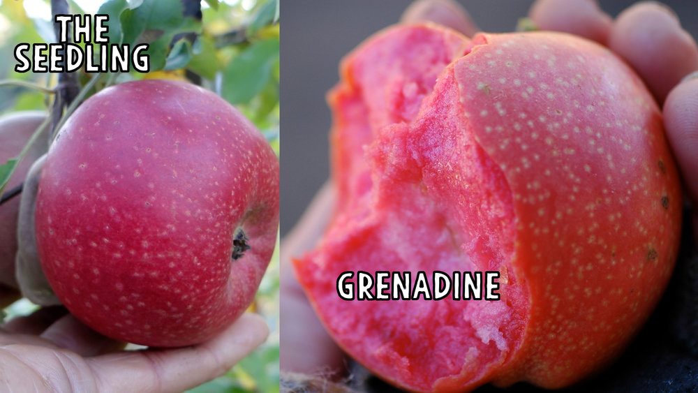 There is more than a passing resemblance between this seedling and it's seed parent grenadine.