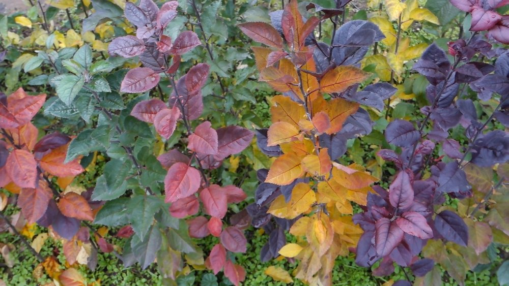imagine these all grafted onto one tree for fall color effect.
