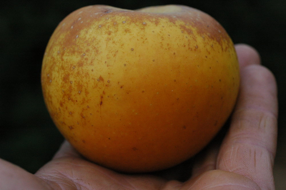 A more attractive russet, probably Egremont's Russet.  It's easy to learn to appreciate the rustic, antiqued beauty of some russets once you taste them.  One bite of an excellent russet will put a big dent in the facade built up thru decades of glossy, polished apple marketing.