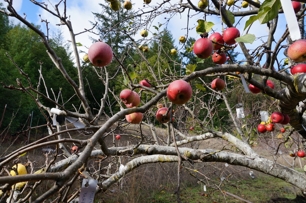 Apples hanging on Frankentree at christmas.  A video still pulled from the videos below.