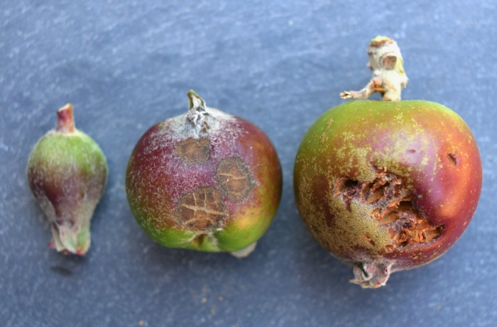 "Very small fruitlets are more difficult to assess.  As they grow larger, scab, asymmetry and any other defects become more obvious.  If very small the un-pollinated apples may not have even been rejected by the tree yet.  When a little larger (center), defects like scab, lopsidedness and other damage are easier to spot when rapidly thinning.  The apple on the right has already suffered bird damage on June 8th.  Leaving a little extra fruit can absorb some of this later damage from birds, insects, hail, diseases or whatever menaces you have around your part of the world.  A piece of information saying that thinning early favors fruit size of remaining fruit is useful to have, but it is wise to ask ""in what context is that information useful""."