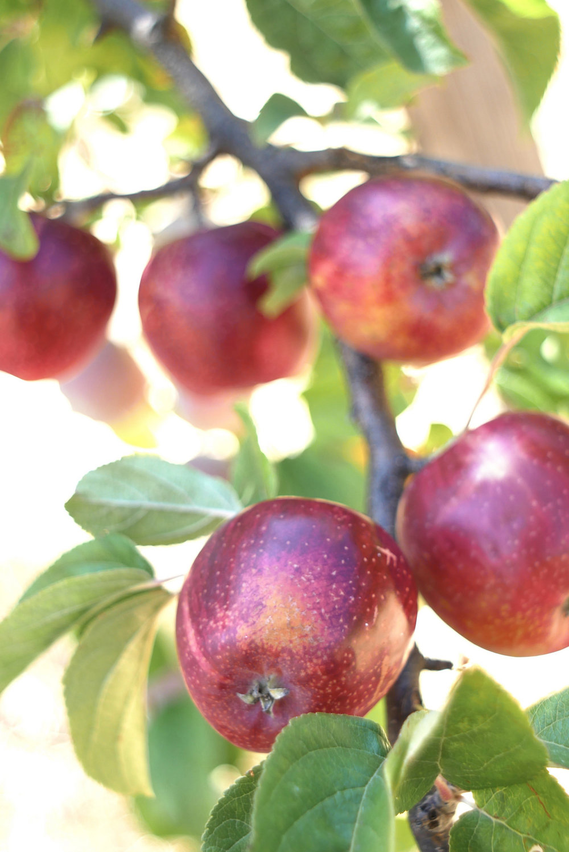 Seedling of Wickson Apple