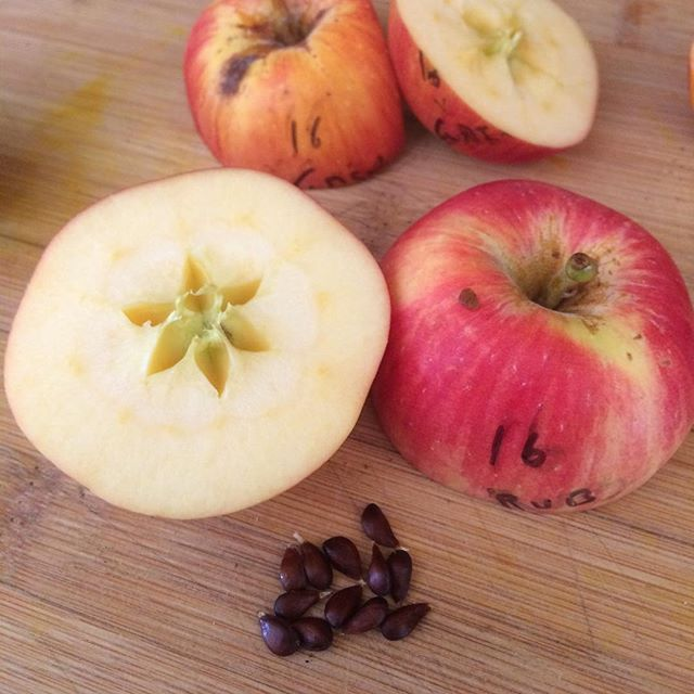Sweet 16 with six cells and 12 seeds instead of the usual five cells and 10 seeds. This one is crossed with Rubaiyat, red fleshed apple. Seeds for sale this winter, but in very limited quantities.  #appleseason #apples #applebreeding #plantbreeding #applerenaissance #sweet16apple #rubaiyat #orchard #orchardlife #gardening #fruittrees #growingfruit #appleseedling #growingapples #growingapplesfromseed