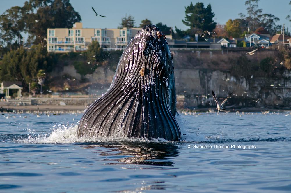 el salto whale.jpg