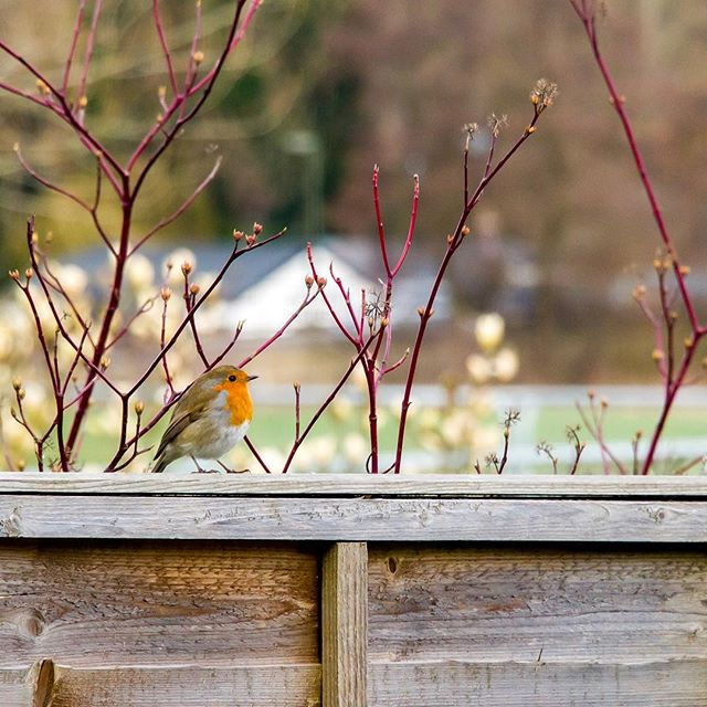 SPOTTED | my favourite shade of orange is finally in sight. Beyond chuffed. Our tiny patio garden will soon become busy again. Welcome back lovely neighbour! 📷CanonEOS760D .⠀ .⠀ .⠀ .⠀ .⠀ .⠀ .⠀ .⠀ .⠀ .⠀ .⠀ . . . . . . . #spring #springwatch #springwatch2019 #springwatchinmygarden #viewfrommygarden #robinbird #robinbirdsong #birdsofinstagram #birdwatching #birdwatchingphotography #naturephotography #mindfulness #mindfulmonday #mindfullife #mindfulliving #chezchanmurphy #godalming #surreylife #surreyliving #backyardbirds #backyardbirdwatching #naturelover #canon760d #dslrsnap #dslrphotography #lightroommobile #canon #canonamateur #amateurphotographers #amatuerphotography