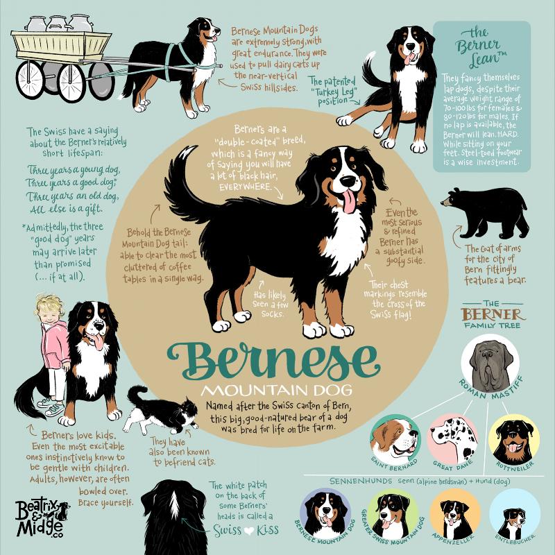 BerneseInfographic-BeatrixAndMidgeCo