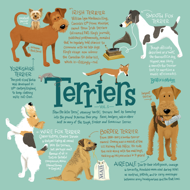 TerriersInfographic-BeatrixAndMidgeCo.png