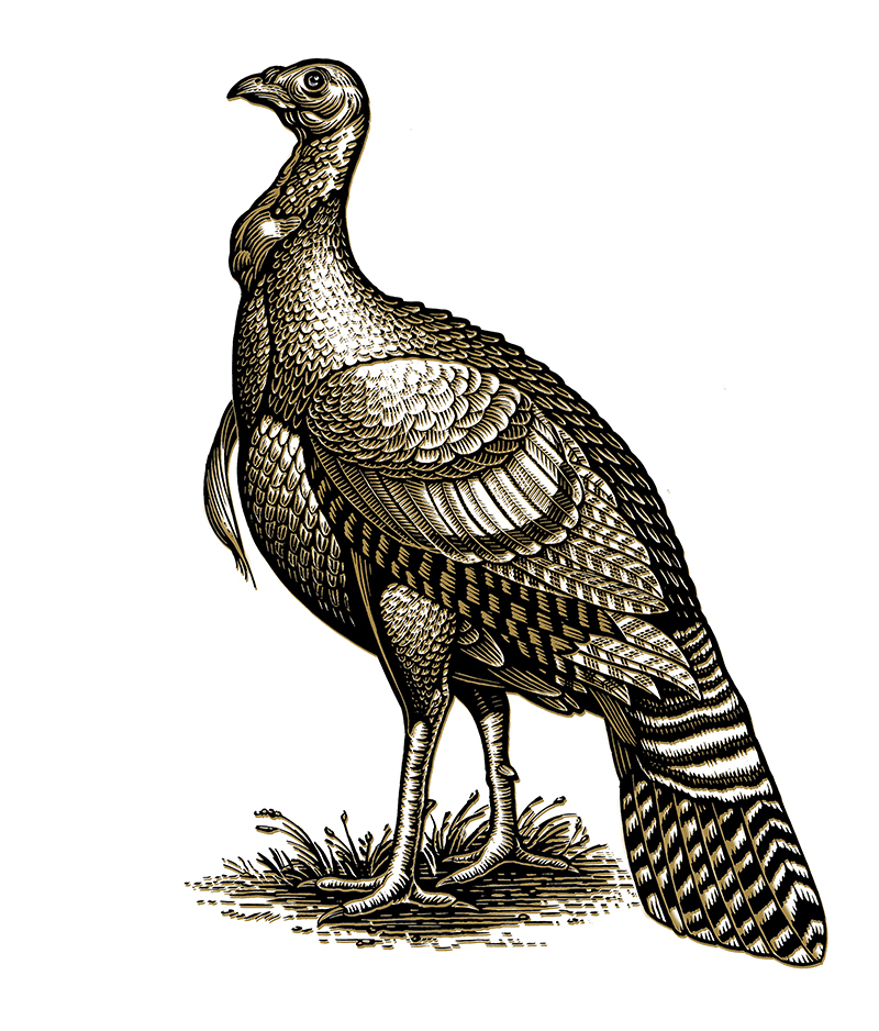 rx_wild-turkey.jpg