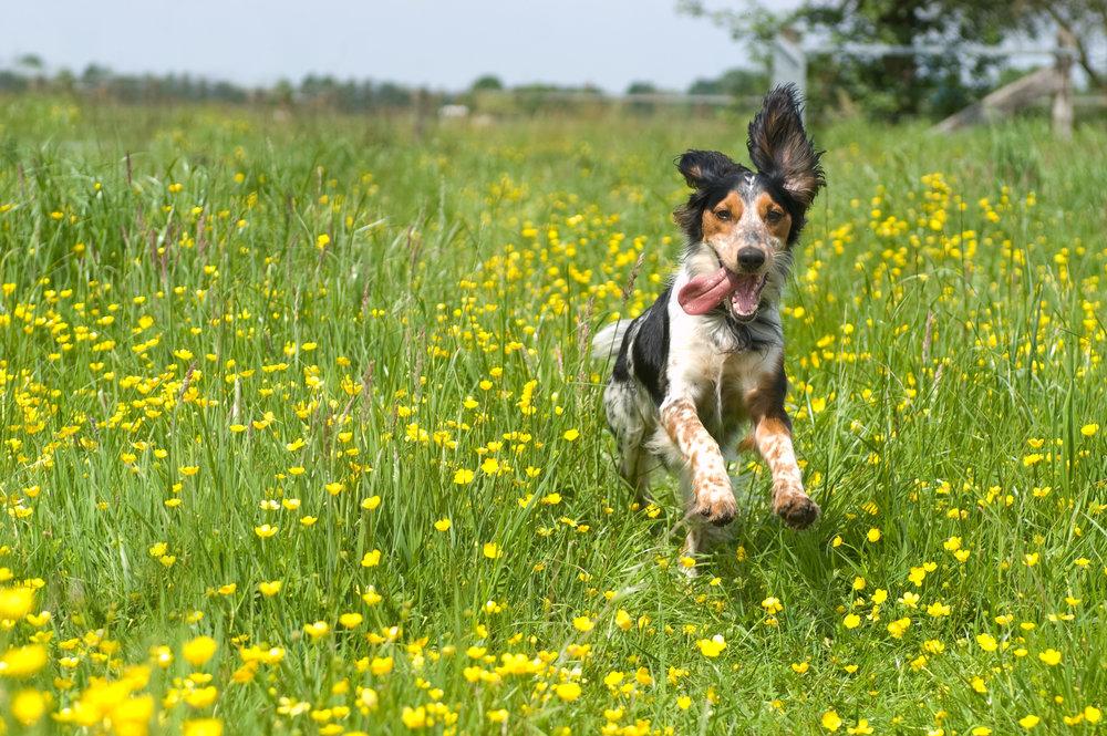 springdog.jpg
