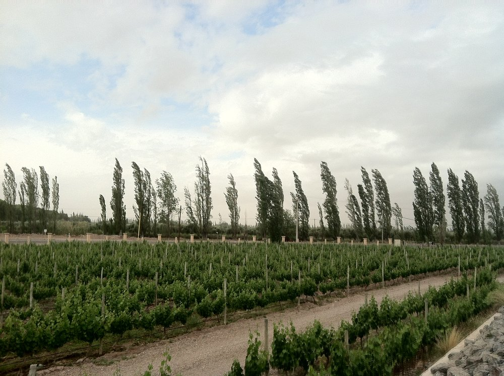 Vines at Vistandes - many are covered by screen mesh to protect from hail